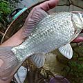 釣魚日記(1030309-北投水溝)