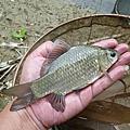 釣魚日記(1030614-北投水溝)