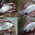 釣魚日記(1031228-北投水溝)