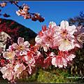 宜蘭-棲蘭山莊 春遊賞櫻