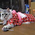 貓の浴衣画像集