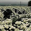 20111113銅鑼杭菊