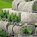 20120211秧苗瑞士捲迴轉壽司
