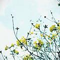 201403029黃花風鈴木
