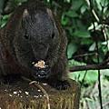 20120915溪頭遇見松鼠