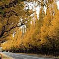 2014.11 【日本|東京】深秋的閃閃銀杏