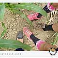 嘉義-義竹2014玉米迷宮