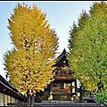 京都西本願寺銀杏