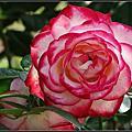 美麗絕倫的台北玫瑰園