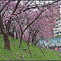 東湖樂活公園寒櫻大爆發