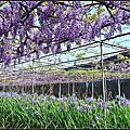 愛在淡水紫藤花開時