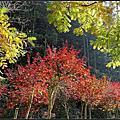 杉林溪楓水杉