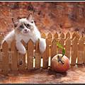 布偶貓-咖啡豆