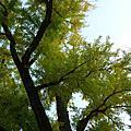 2011日本賞楓最前線