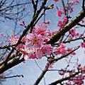 2012/03 陽明山櫻花季