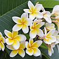 【The Merchant of Venice】Frangipani Blossom (雞蛋花)