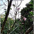 賞櫻祕境-卓蘭櫻花山莊