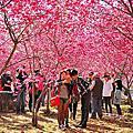 2014 新社櫻花季 ( 櫻木花道 )