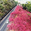 大坑 . 濁水巷櫻花