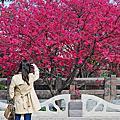 泰安派出所櫻花季