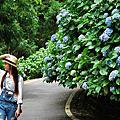 高山青農場繡球花季