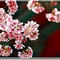 980317天元宮櫻花