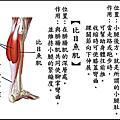 前彎牽動的肌肉