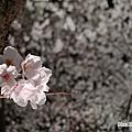 2010.04。近畿(關西) の櫻