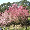 2011/02/28陽明山櫻花
