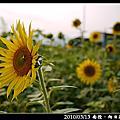 2010/03/13 南投.向日葵花田