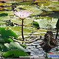 桃園蓮花季2008.8.30