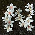20090505 油桐花約會