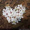 2010 油桐花
