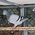 整理用種鴿照片