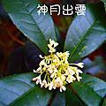 生活膸拍-新竹市-十八尖山桂花
