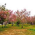 月湖莊園賞櫻花