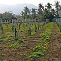芘達雅Pitaya農場的紅龍果