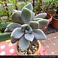 多肉植物:景天科 Crassulaceae/厚葉景天屬 Pachyphytum