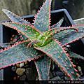 多肉植物:獨尾草科(百合科 Liliaceae)/蘆薈屬 Aloe