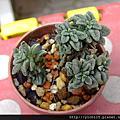 多肉植物:景天科 Crassulaceae / 摩南景天屬 Monanthes