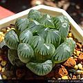 多肉植物:獨尾草科(百合科 Liliaceae)/十二卷屬 Haworthia(軟葉系)