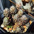 多肉植物:馬齒莧科 Portulacaceae