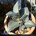 多肉植物:景天科 Crassulaceae/深蓮屬 Lenophyllum