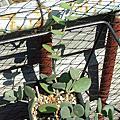 多肉植物:葫蘆科 Xerosicyos