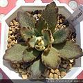 多肉植物:景天科 Crassulaceae/伽藍菜屬 Kalanchoe