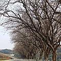 2014.03.26 烏山頭三月櫻花雪