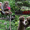 第0815篇[台中北屯]郭叔叔獼猴生態區/迷喉咖啡/跳水區/生態教室X影像導覽|Taichung Monkey Land X Taiwan tourist attractions image navigation