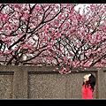 2013陽明山櫻花