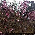 120129《陽明山》櫻花朵朵開~=^_^=