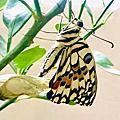 蝴蝶專題研究